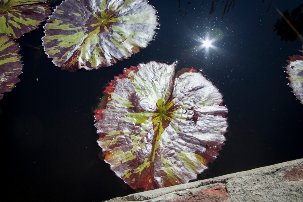 The lily pads get to be about the size of a large dinner plate.