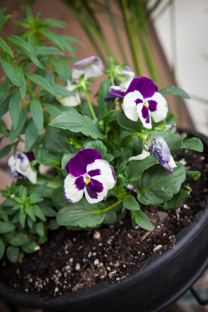Don't you just love pansies? Little kitty faces. I planted some upstairs on my balcony and yesterday they were completely flat from the heat. I drenched them so today I'll see what they look like.