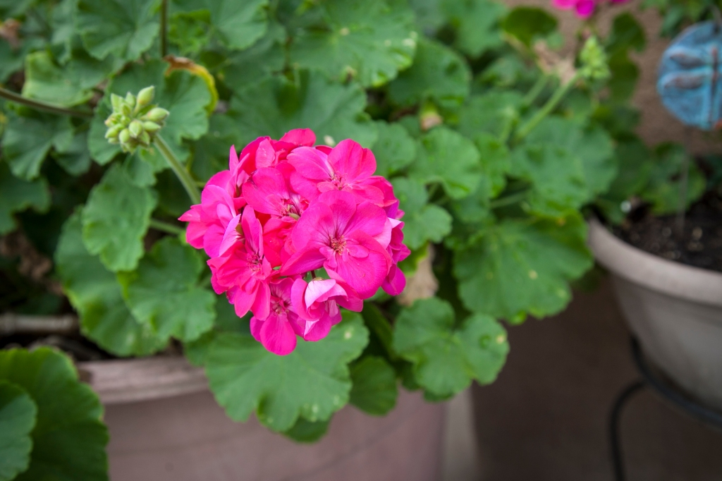 Yay! Geraniums! These flowers are so hearty and handle the heat very well. Ge whiz, it's not like we live in the desert, what's going on here?
