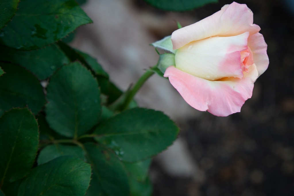 Can you take too many pictures of roses?